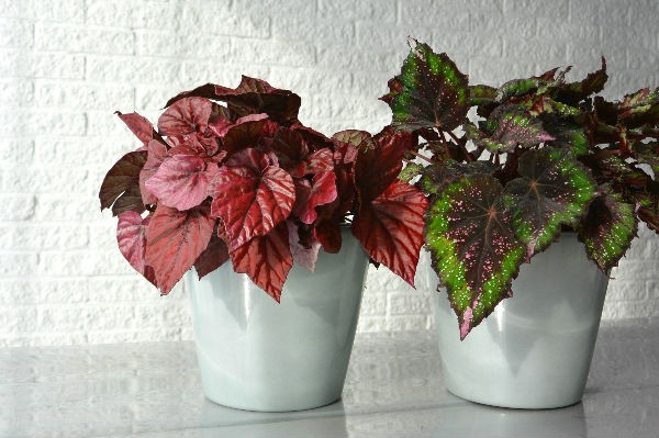 simple thoughts woonplant oktober begonia bladbegonia rex