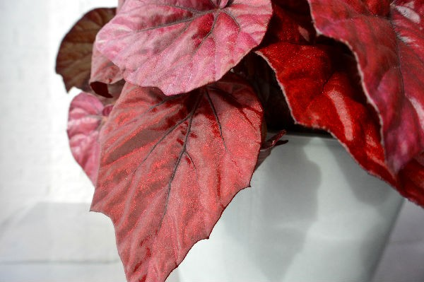 simple thoughts woonplant oktober begonia rood