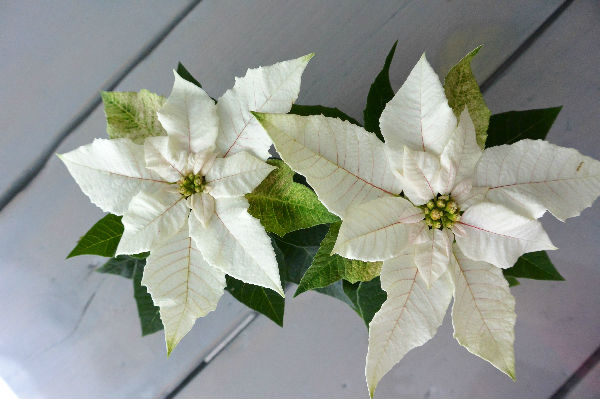 simple thoughts woonplant november kerstster poinsettia