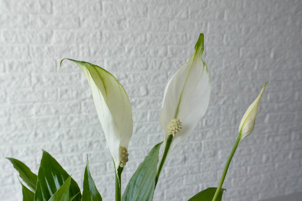 Simple thoughts lepelplant verzorgen spathiphyllum